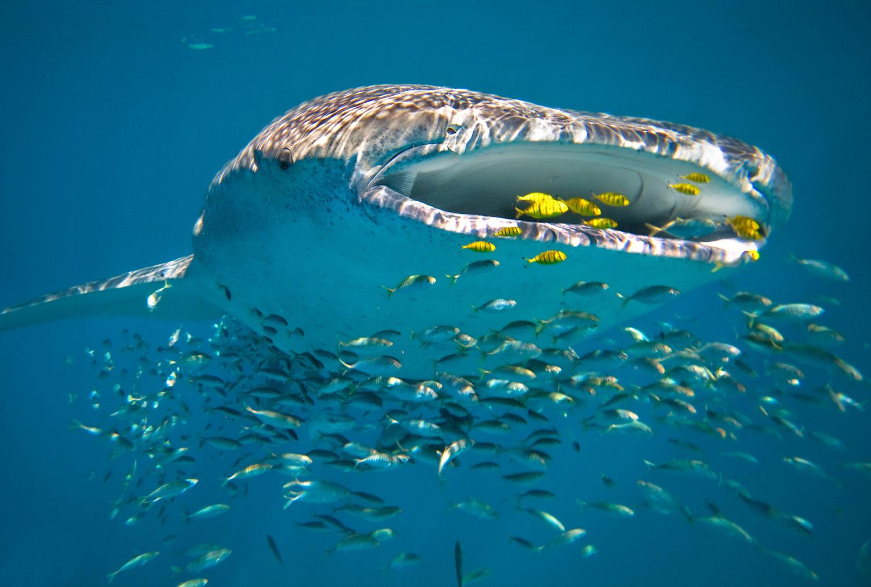 Ningaloo Reef Whalesharks