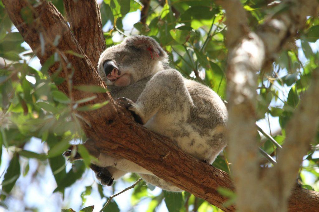 Koala in Noosa