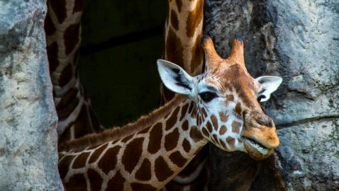 Giraffes_Taronga_zoo