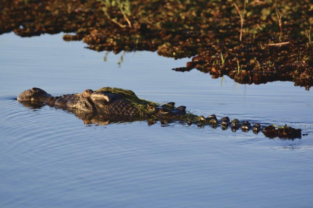 Saltwater_Crocodile_at _Yellow_Waters_Kakadu_National_Park