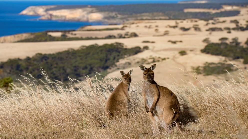 Kangaroos_Kangaroo_Island_South_Australia